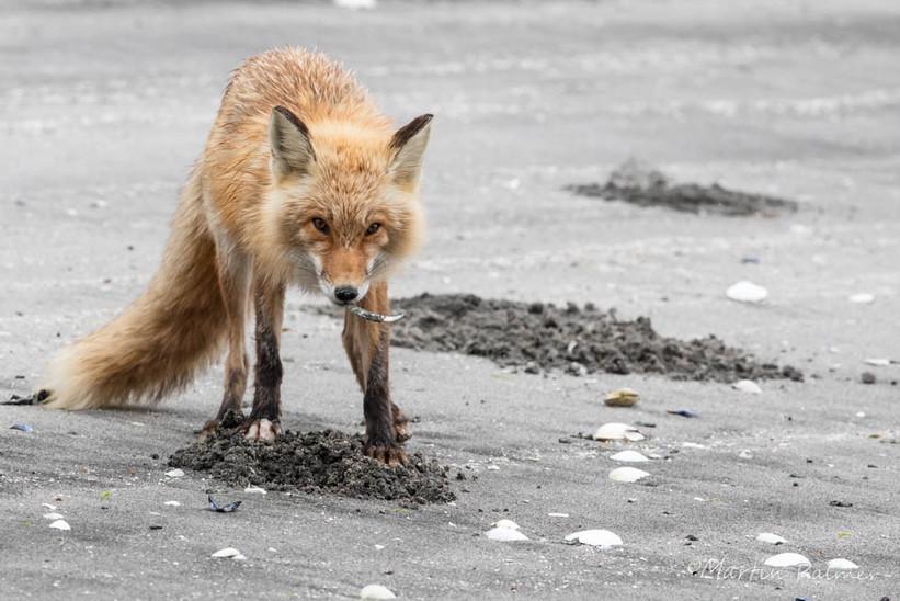 Digging for Sandeels