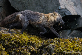 Cross Fox Running Down the Rock Beach