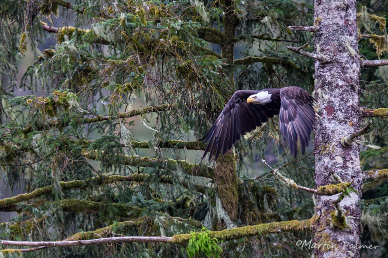 Bald Eagle in the Rain Forest