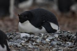 Adélie Penguin on a Rock Nest