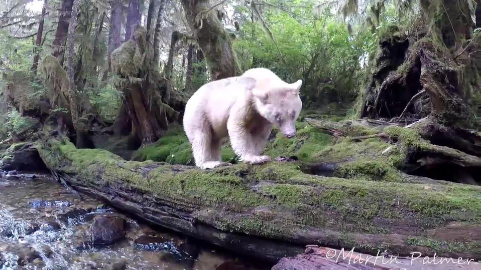 Spirit Bear Close Up