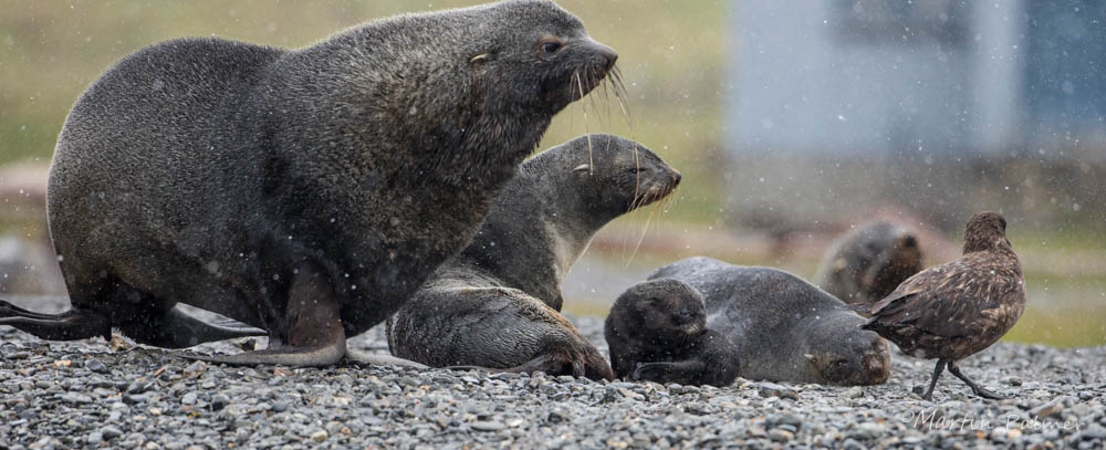 Antarctic Fur Seal Family