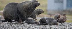 Antarctic Fur Seal Family