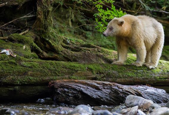 Ma'ha Walking along a Log