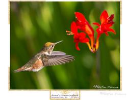 A14R3408 - Annas Hummingbird.jpg