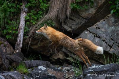 Leaping Fox