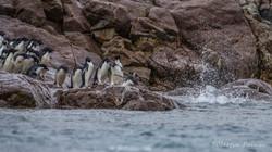 Adélie Penguins Entering the Water