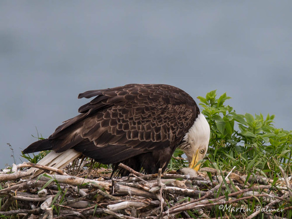 Bald Eagle Feeding Her Young