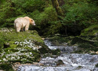 Watching Salmon Climbing the Waterfall