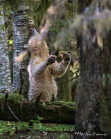 Ma'ha Using a Rubbing Tree