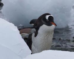 Clean Gentoo Penguin