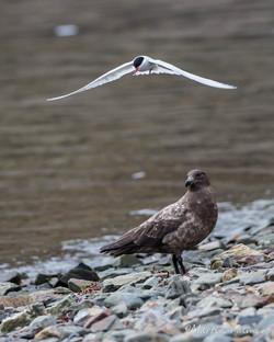 Antarctic Terns and Skuas