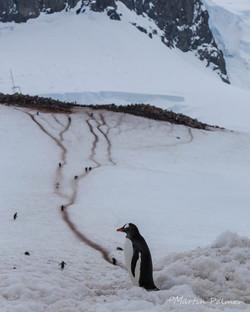 Muddy Gentoo Penguin Colony