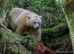 Travelling in the Great Bear Rain Forest