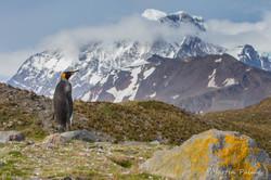 King Penguin Contempating