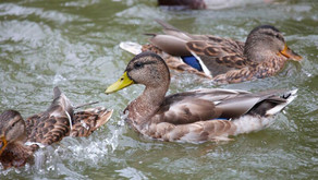 Ducks on a Pond, The Inner Strength of the Black Woman