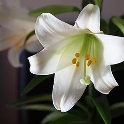 Lily icon_JPEG.jpg