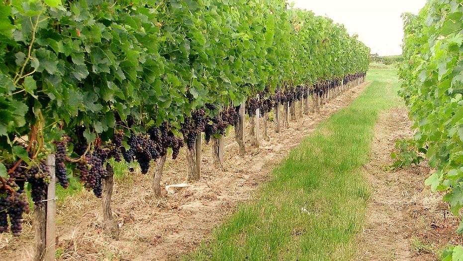 Merlot_grapes_in_Bourg_vineyard_edited.j