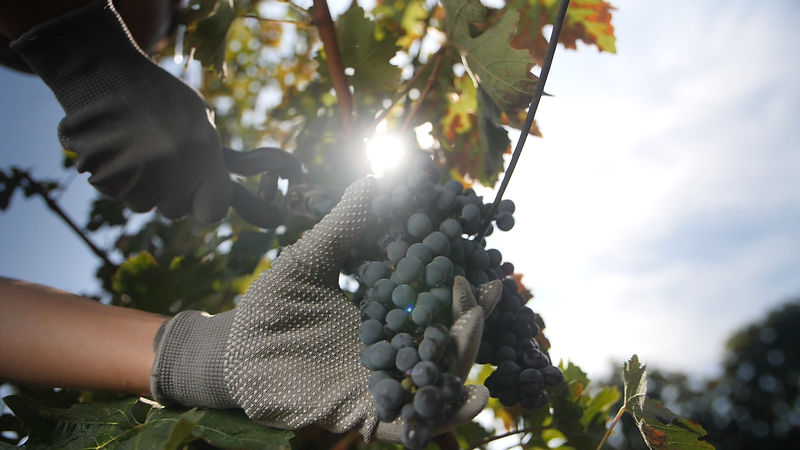 vinograd4.jpg