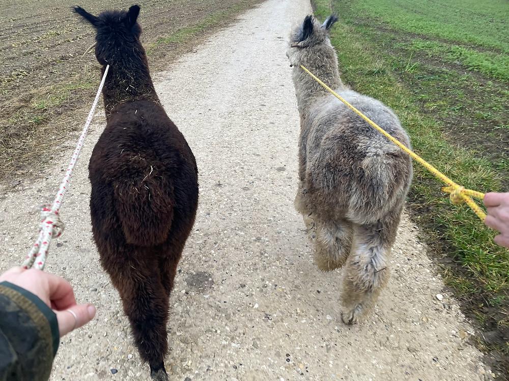 Walking two Alpacas