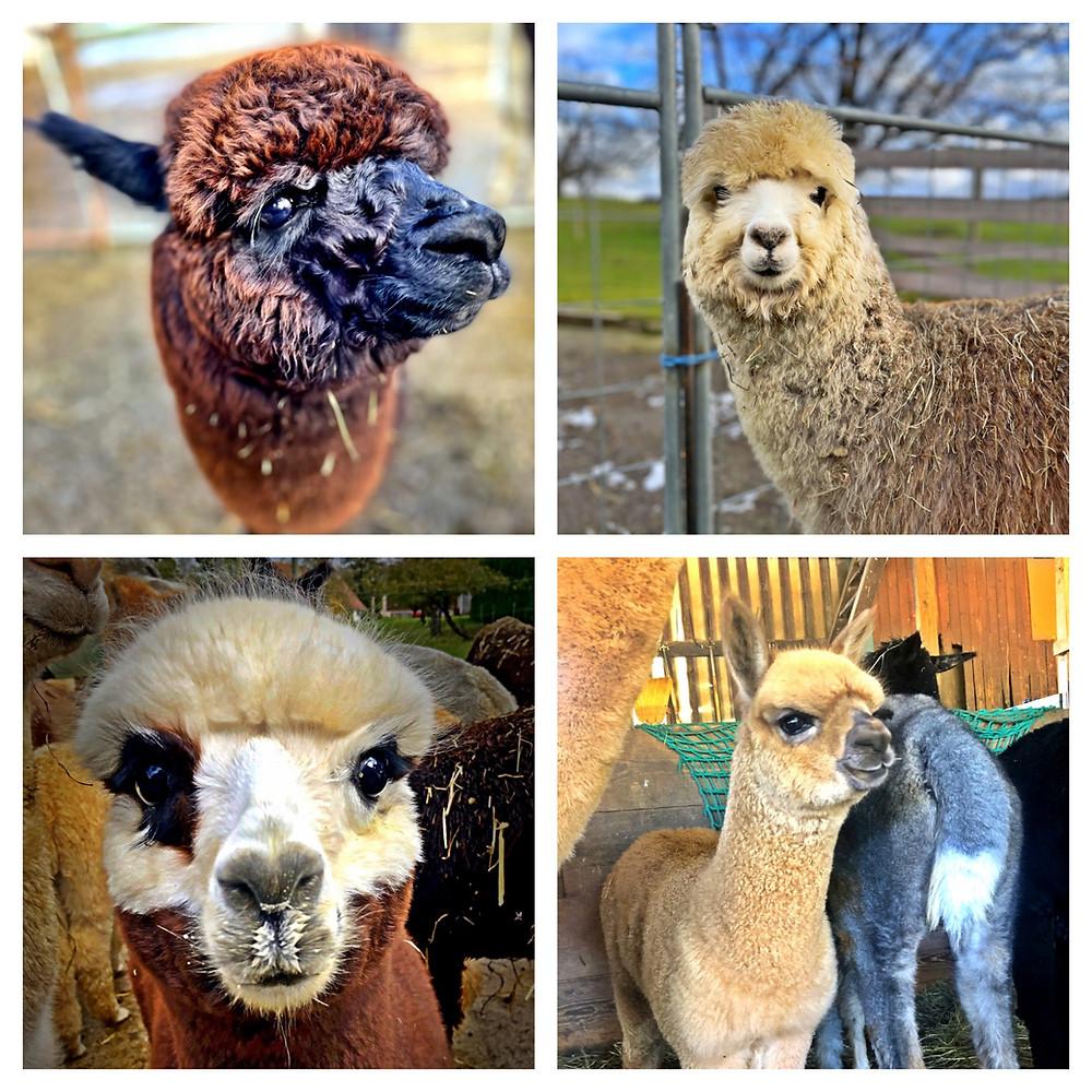 The four cutest alpacas in the world