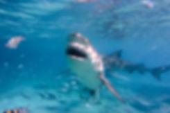 shark 7 WL.jpg