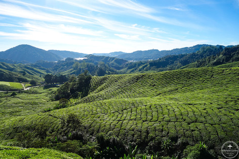 Malaisie - Cameron Highlands
