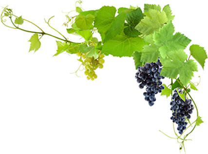 transparent-grapes-plant-png-13.png