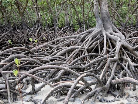 Los manglares como un sistema vital