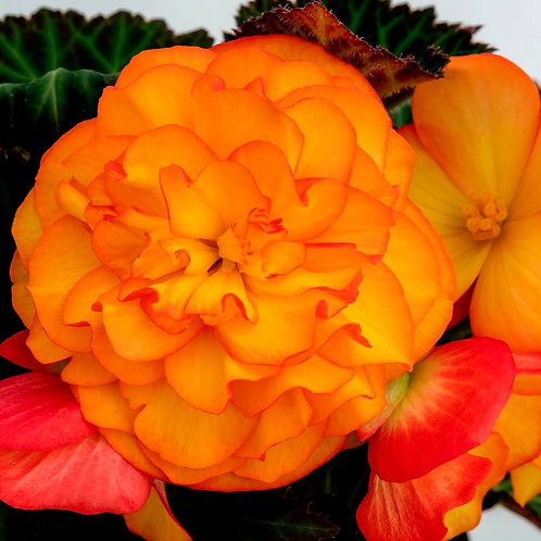 Begonia Non Stop Fire