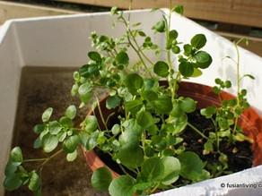 Easy way to grow watercress - Part 2: Grow