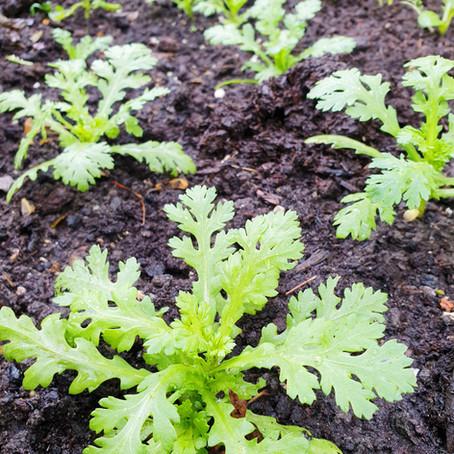 Grow Chinese Vegetable: Shungiku, Tong Ho, Garland Chrysanthemum