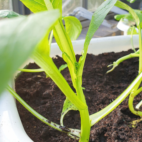 Grow Chinese Vegetable: Choy Sum