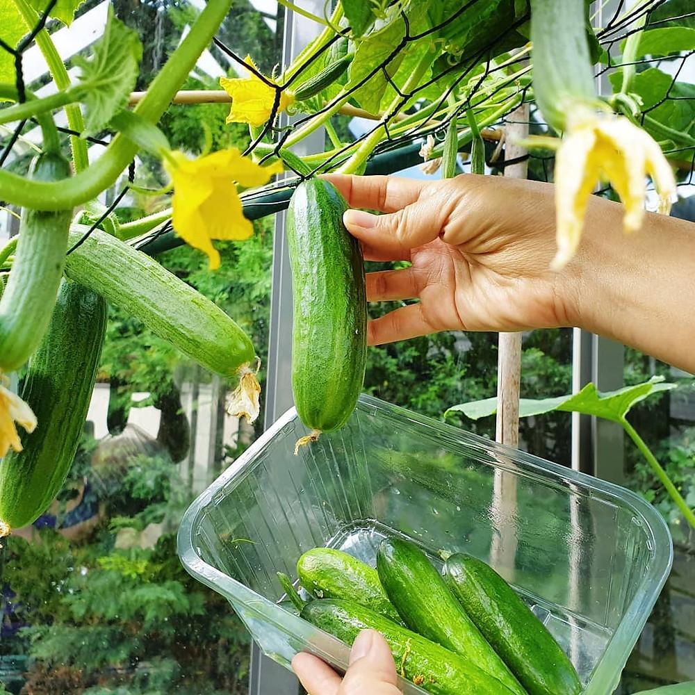 Cucumber fruit growing straight through mesh