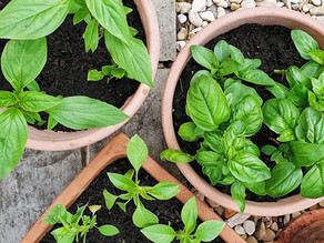 Grow Thai Basil from store bought herb packets
