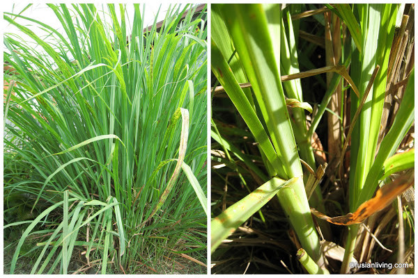 (L) Lemongrass plant with ribbon like leaves (R) Close up of the stalks which are used in South East Asian cooking