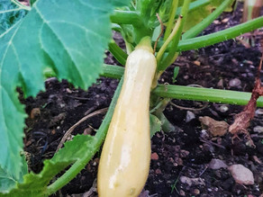 Growing Italian Courgettes and Summer Squashes
