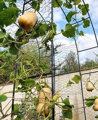 how to grow squash vertically. Build a squash arch.