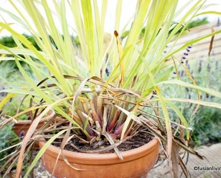 Grow Lemongrass in the UK