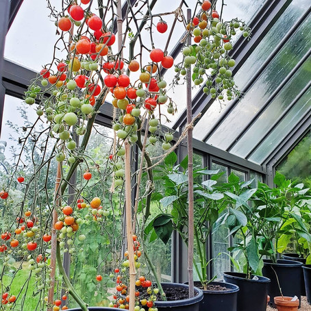 Top Tips for Growing Tomatoes in Pots