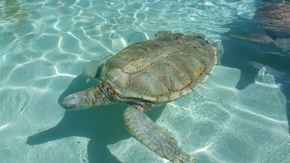 600 lbs. Green Turtle