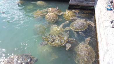 Lage Green Turte in Grand Cayman