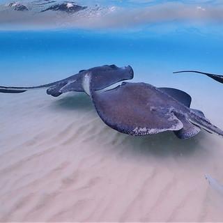 Playful stingrays in Grand Cayman.JPG