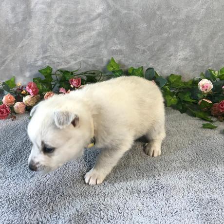 Pomsky Puppy Violet 9.JPG
