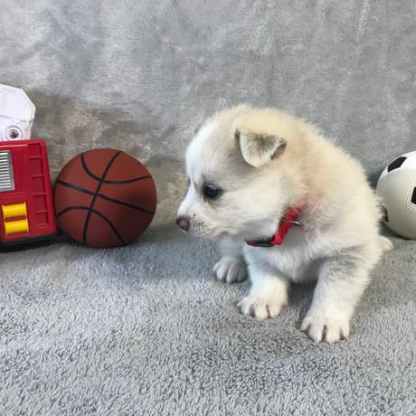 Pomsky Puppy Max 17.JPG