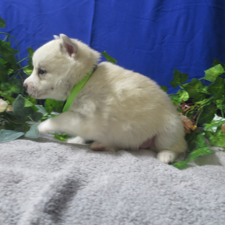 Pomsky Puppy Tori 4.JPG