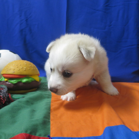 Pomsky Puppy Max 4.JPG