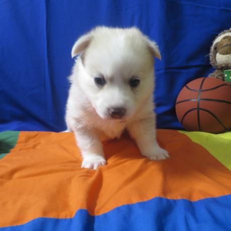 Pomsky Puppy Max 5.JPG