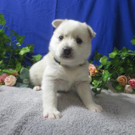 Pomsky Puppy Violet 2.JPG