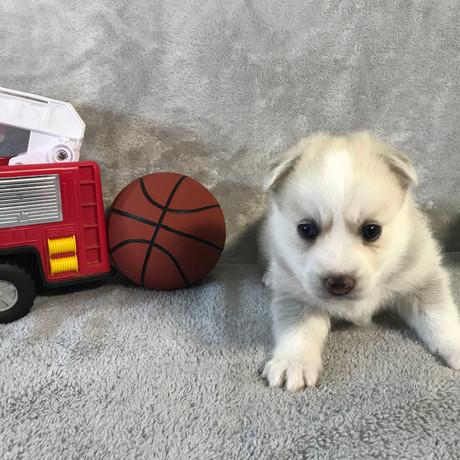 Pomsky Puppy Max 33.JPG